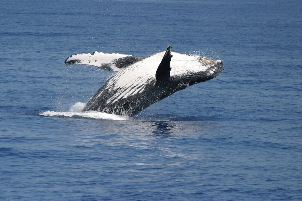 What time to whale migrate from Alaska to Hawaii?